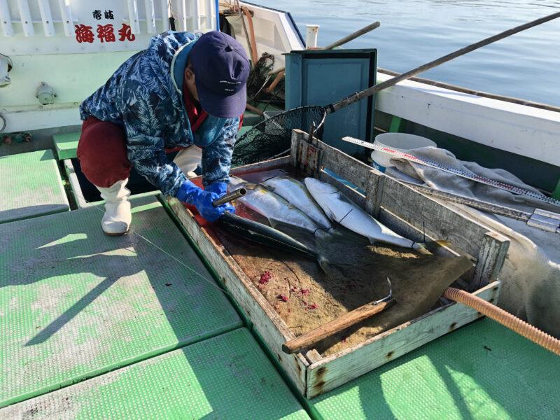 魚が美味しく食べられるように脳締め〜血抜きまで行って下さりました 関西の普通の釣り船じゃここまでやってくれません