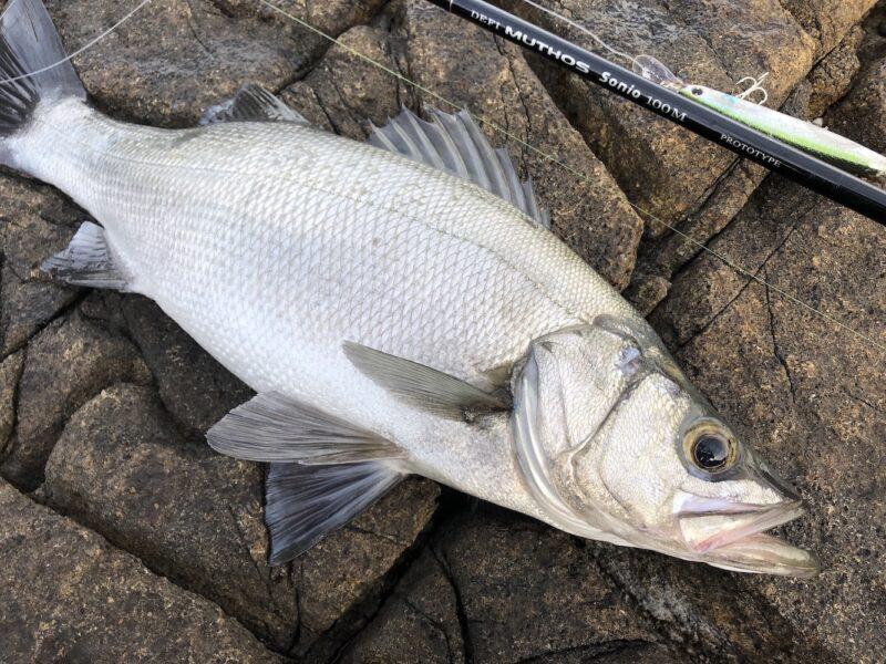 ミュートス ソニオにセットアッパーで釣ったヒラスズキ