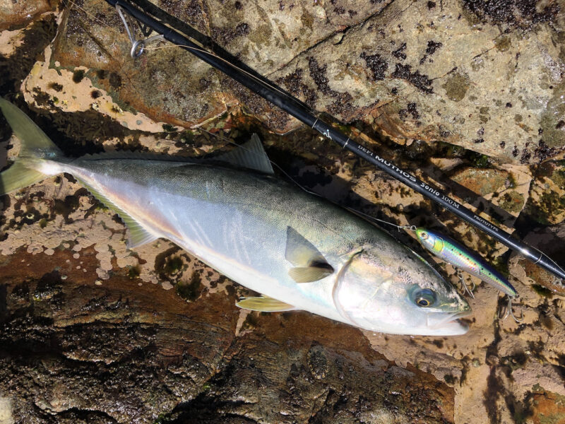 ミュートス ソニオにラピードで釣ったハマチ